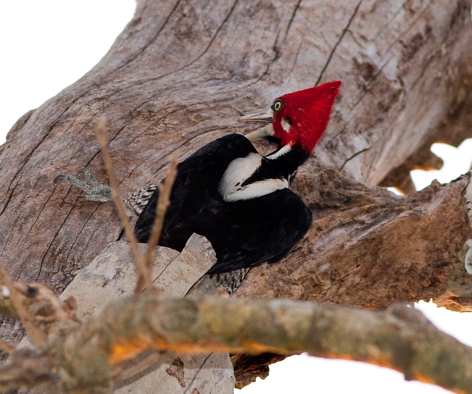 Crimson-Crested Woodpecker Pant_06-08-15_0013