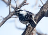 DownyWoodpecker BotGard_10-01-30_12