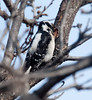 DownyWoodpecker BotGard_10-01-30_8