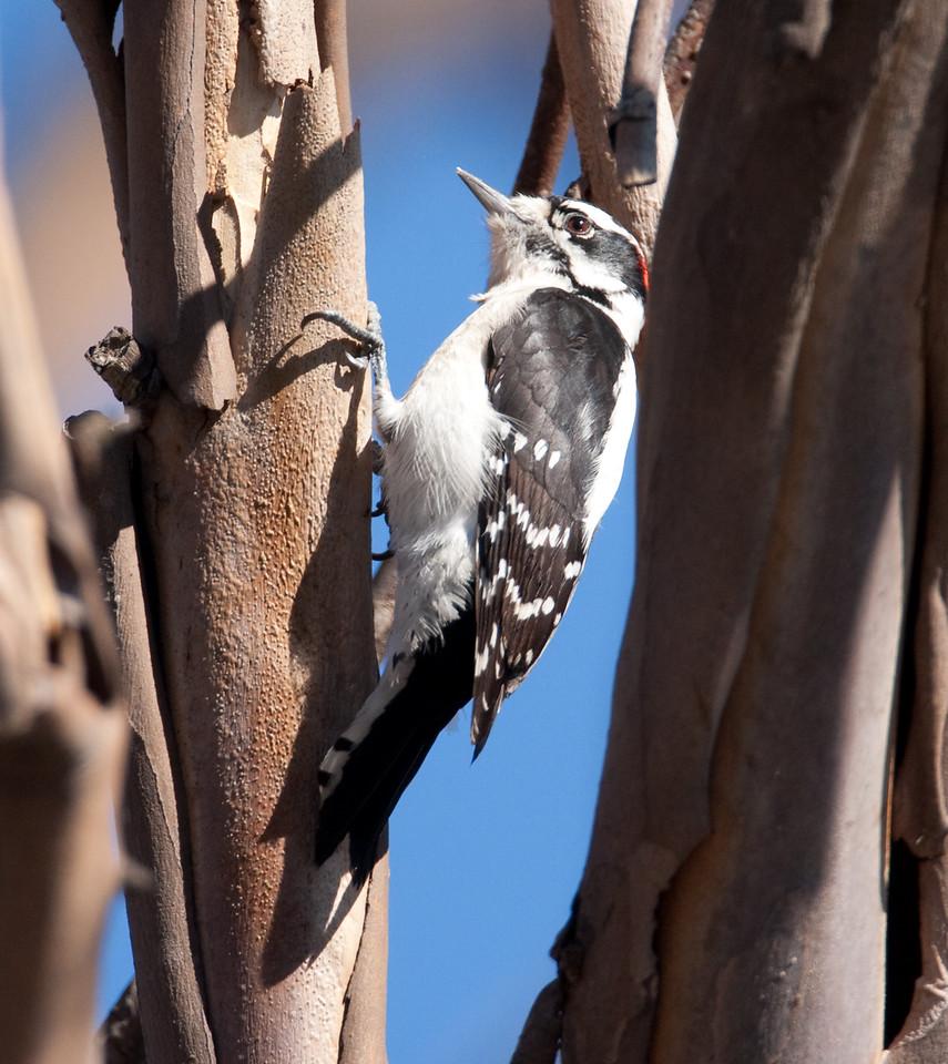 Downy Woodpecker BolsaChica_07-12-22_0025