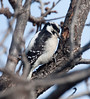 DownyWoodpecker BotGard_10-01-30_4