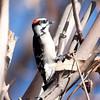 Downy Woodpecker BolsaChica_07-12-22_0009