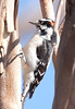 Downy Woodpecker BolsaChica_07-12-22_0026
