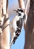 Downy Woodpecker BolsaChica_07-12-22_0026