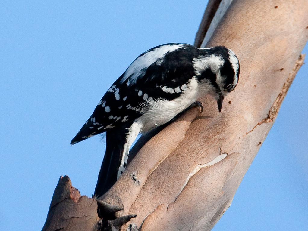 Downy Woodpecker BolsaChica_07-12-30_0006