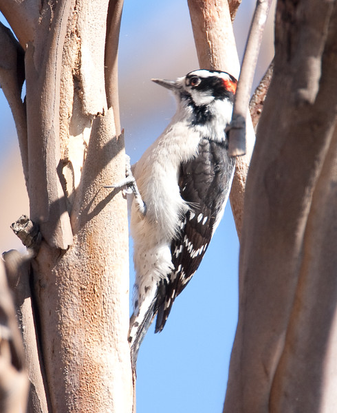 Downi Woodpecker BolsaChica_07-12-22_0020 (1)