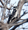 DownyWoodpecker BotGard_10-01-30_3