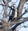 DownyWoodpecker BotGard_10-01-30_7