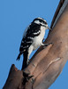 Downy Woodpecker BolsaChica_07-12-30_0005