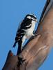 Downy Woodpecker BolsaChica_07-12-30_0005