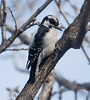 DownyWoodpecker BotGard_10-01-30_10