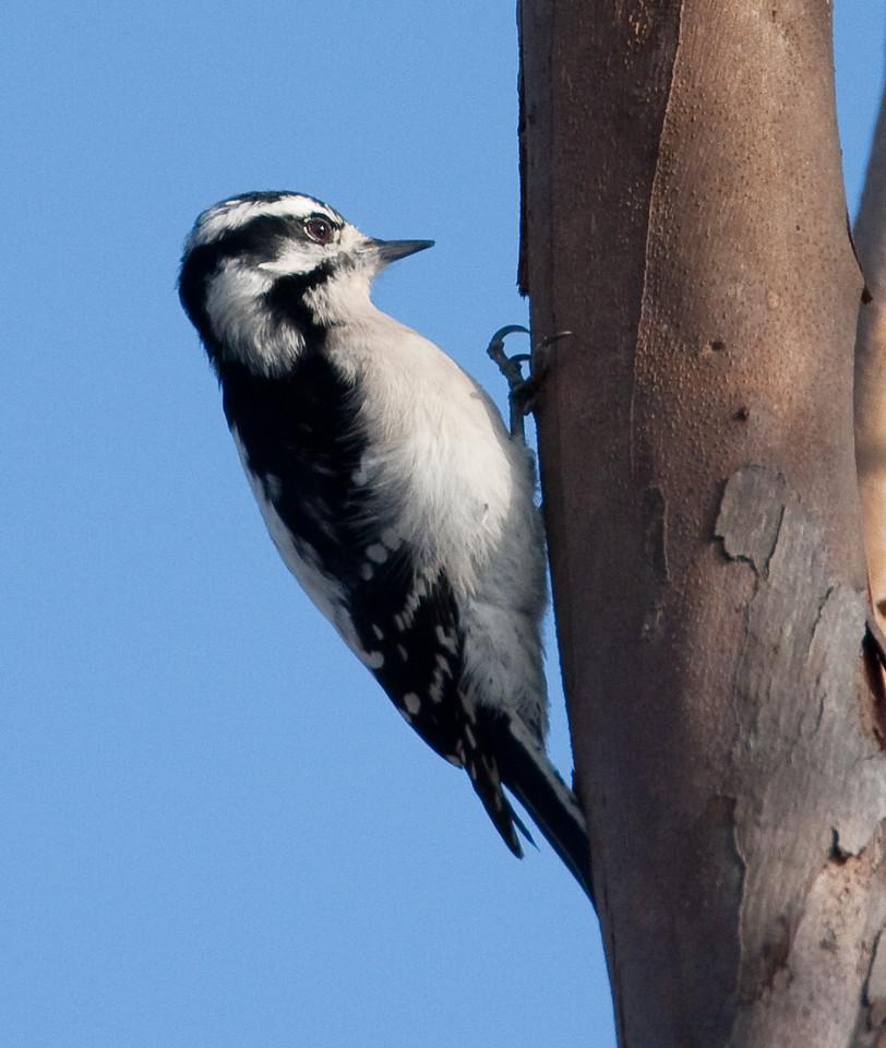 Downy Woodpecker BolsaChica_07-12-30_0013