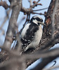 DownyWoodpecker BotGard_10-01-30_5
