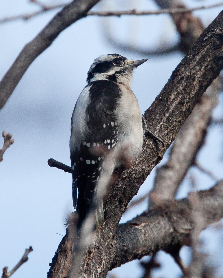 DownyWoodpecker BotGard_10-01-30_9