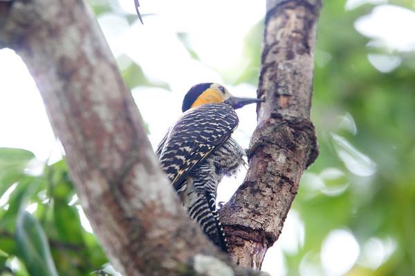 FieldFlicker Pantanal_7I2B9675_10-09-27