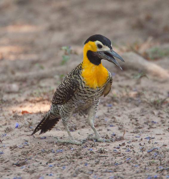 FieldFlicker Pantanal_7I2B9683_10-09-27