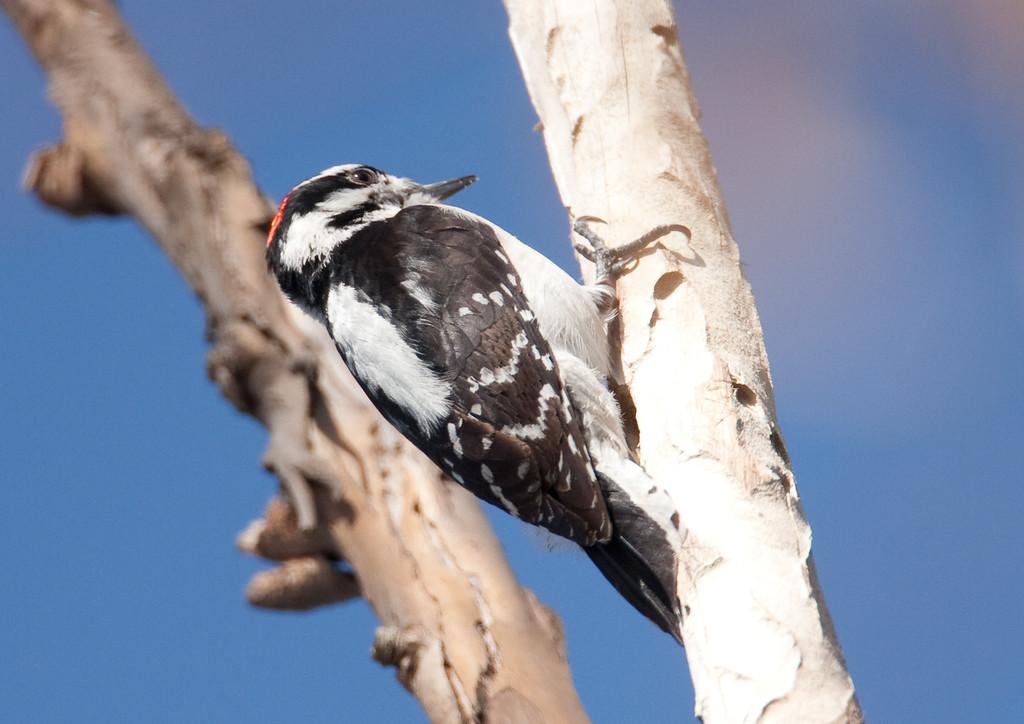 HairyWoodpecker BolChica_5_02-10-08