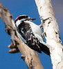 HairyWoodpecker BolChica_2_02-10-08