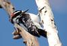HairyWoodpecker BolChica_13_02-10-08