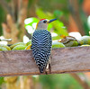 Hoffman'sWoodpecker CR_10_02-18-06