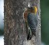 HoffmanWoodpecker Tambor_09-11-08_7I2B2239
