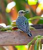Hoffman'sWoodpecker CR_25_02-18-06