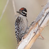 LadderbackWoodpecker_BigMorongo_09-06-01-0001_090601_1