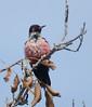LewisWoodpecker CanadaLarga_7I2B4730_09-11-27