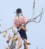 LewisWoodpecker CanadaLarga_7I2B4728_09-11-27