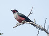 LewisWoodpecker CanadaLarga_7I2B4769_09-11-27