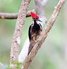 Lineated Woodpecker FBuena Vista_09_02_22_4871_11