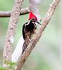 Lineated Woodpecker FBuena Vista_09_02_22_4872_12