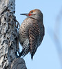 Northern Flicker BolsaChica_07-12-30_0008