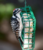Nuttal'sWoodpecker_08_November_22_015