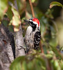 Nuttal'sWoodpecker_08_November_22_001