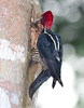 Pale-billed Woodpecker_07-08-20_0004
