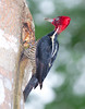 Pale-billed Woodpecker_07-08-20_0007