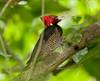 PaleBillWoodpecker VilLapas_09-10-31_7I2B1238
