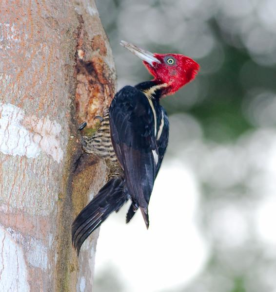 Pale-billed Woodpecker_07-08-20_0003
