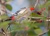 RedBelPecker CorkscrewSwampFL_7I2B3883_11-02-01