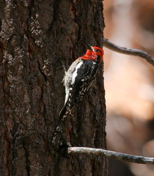 RedBeliedSapsucker_Yosemite_05-06-10-0008