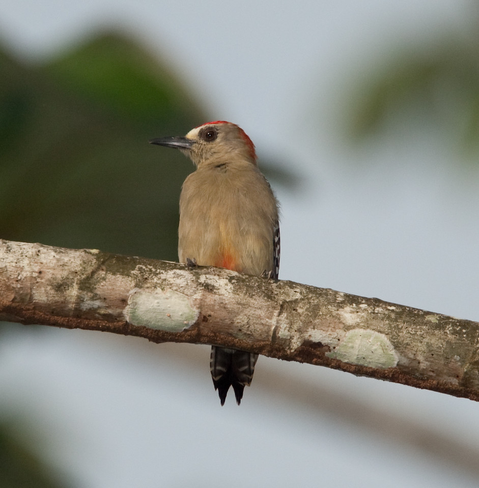 RedCrnWoodpecker HaBaru_09-10-17_0003
