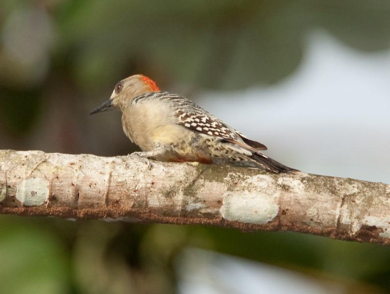RedCrnWoodpecker HaBaru_09-10-17_0001
