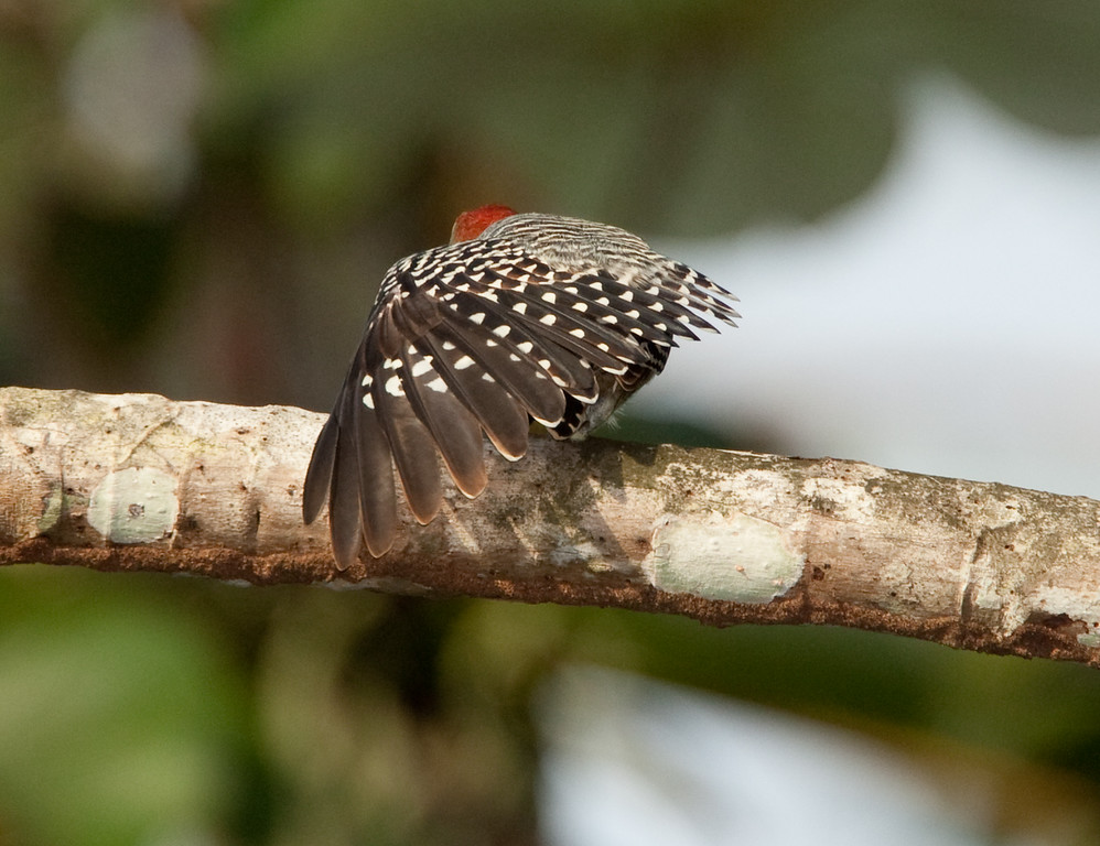 RedCrnWoodpecker HaBaru_09-10-17_0002