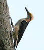 White woodpecker (2)_417_08-06-05