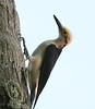 White woodpecker (2)_417_08-06-05