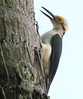 White woodpecker (11)_414_08-06-05