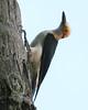 White woodpecker_425_08-06-05