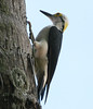 White woodpecker (4)_419_08-06-05