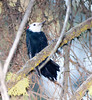 White-headed pecker Sequioa_08-09-22_IMG_0331